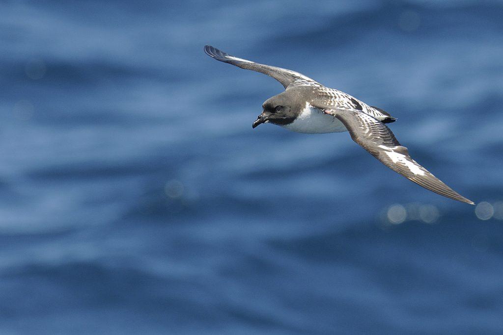 Petrels, Prions and Shearwaters – Holmen Birding Safaris